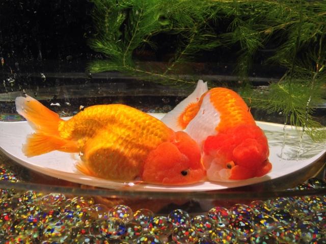 【長生きさせる金魚の飼い方!】飼育で重要なつのポイント3つとは?<種類・寿命>