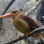 【速報】鳥取県大山に「火の鳥」アカショウビン飛来!鳴き声、さえずり、生息地は!?