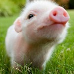 ミニブタをペットにしたい!可愛い♡ミニ豚の知りたいあれこれ!<値段や大きさ・飼い方は?>