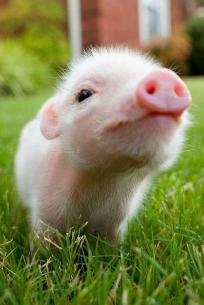 「豚」の画像検索結果