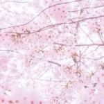 桜の種類は○○以上!人気があるサクラや開花時期とは<2016年版>
