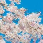 桜の開花宣言が東京に!開花温度の条件・全国の桜の名所まとめ