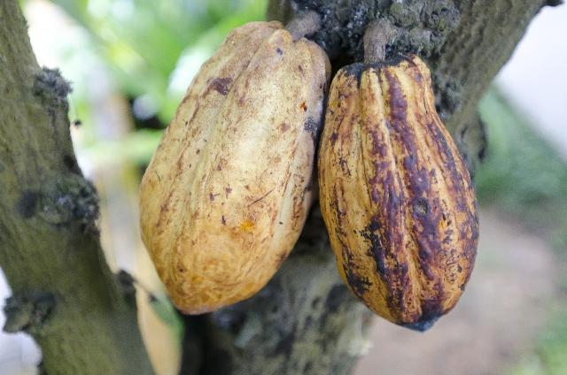 cacao_1