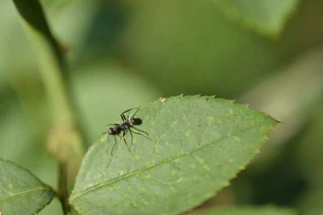家の蟻対策はアロマや酢?重曹や輪ゴムも?赤ちゃんにも安全な方法