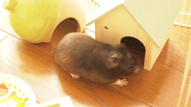 巣箱に入るハムスター