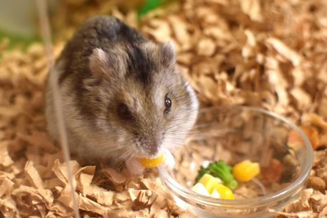 エサを食べるジャンガリアンハムスター