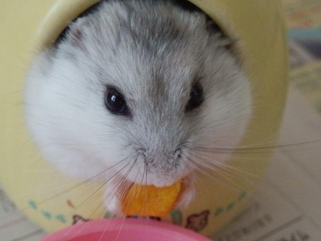 果物を食べるハムスター